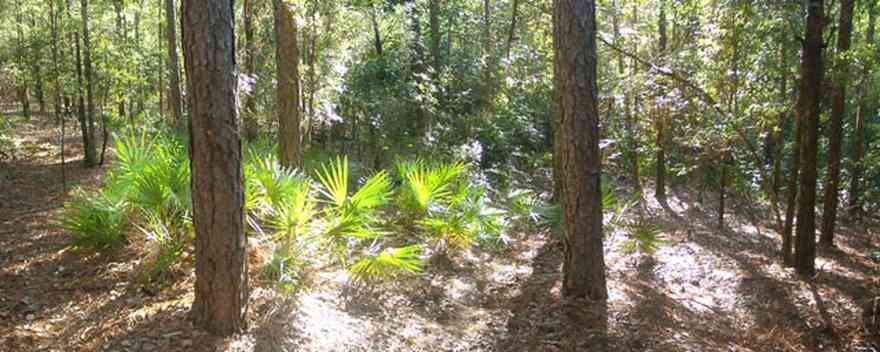 Perdido-Key:-Riverwalk_02.jpg:  saw palmetto, pine trees, forest, scrub oaks, interpretive trail, boardwalks, perdido river