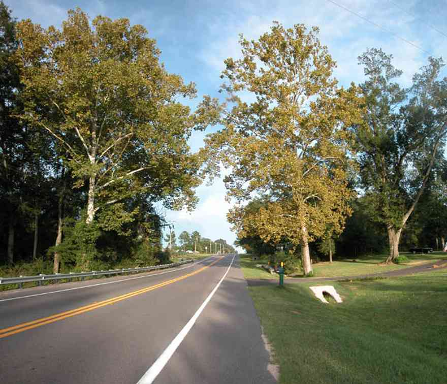Walnut-Hill:-Hwy-97-Sycamore-Trees_01.jpg:  sycamore trees, country road, farmland, farm, kansas, iowa, midwest