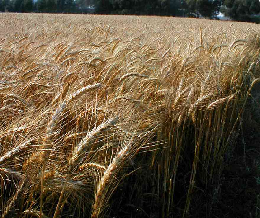 Walnut-Hill:-Hwy-99-Wheat-Farm_01.jpg:  winter wheat, wheat field, farmland, pecan tree, midwest