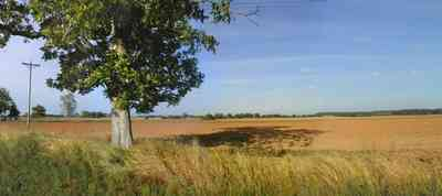 Walnut-Hill:-Hwy-99-Wheat-Farm_02.jpg:  winter wheat, wheat field, farmland, pecan tree, midwest