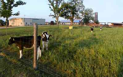 Walnut-Hill:-VanPelt-Farm_01.jpg:  dairy, heifer, calf, silo, corn, silage, corn field, farmland, pasture, black angus, barn, farm escambia county, oak tree